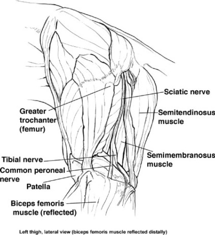 Development and verification of saphenous, tibial and common ...